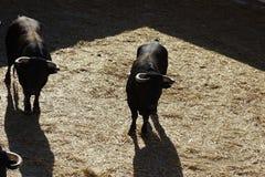 Svarta tjurar från en tjurfäktningsarena för en corrida från Vinaros, Spanien royaltyfri bild