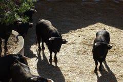 Svarta tjurar i en tjurfäktningsarena från Vinaros, Spanien royaltyfri fotografi