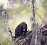 svarta trän för björn arkivfoto