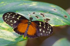 Svarta tropiska fjärilar på färgrika tropiska blommor Royaltyfri Foto