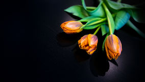 svarta tulpan Fotografering för Bildbyråer