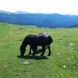 Svarta två och starka hästar arkivbilder
