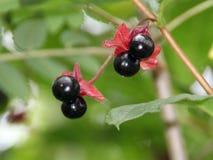 Svarta Twinberries Arkivbild