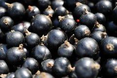 svarta vinbär royaltyfri fotografi