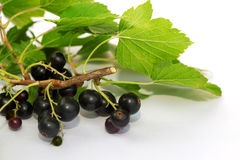 Svarta vinbär på vit med bladet Fotografering för Bildbyråer