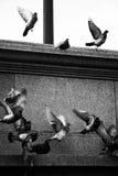 svarta vita flygduvor royaltyfri bild