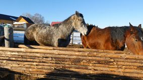 Svarta vita och bruna hästar som står på det insnöat en paddock nära det vita trästaketet Royaltyfria Bilder