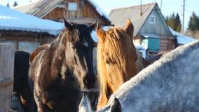 Svarta vita och bruna hästar som står på det insnöat en paddock nära det vita trästaketet Royaltyfri Foto