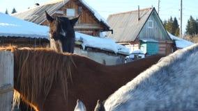 Svarta vita och bruna hästar som står på det insnöat en paddock nära det vita trästaketet Royaltyfri Fotografi