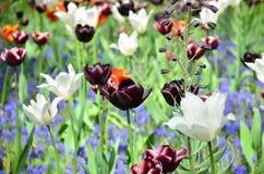 Svarta & vita tulpan i trädgården av Keukenhof från Lisse, Holland Arkivbild
