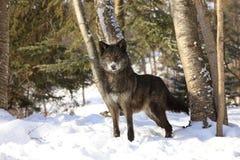 Svarta Wolf Beautiful Eyes Royaltyfri Fotografi