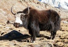 svarta yak Royaltyfri Bild