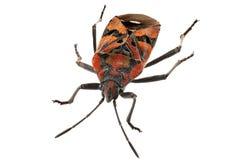 Svarten och rött slipat buggar den artSpilostethus pandurusen Arkivfoton