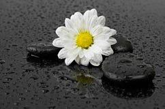 Svartstenar och vit blomma med vattendroppar arkivfoton
