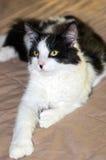 Svartvit Bicolour Polydactyl katt Royaltyfria Bilder
