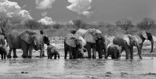 Svartvit bild av en stor flock av elefanter som dricker från en naturlig watehole arkivfoton