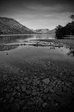 Svartvit bild av en svan på en sjö Royaltyfria Foton