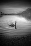 Svartvit bild av en svan på en sjö Royaltyfri Foto