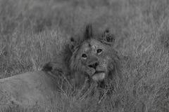 Svartvit bild av lejonet som tillbaka ser på kameran Arkivfoto