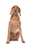 Svartvit Chihuahuahund Arkivfoto