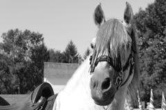 Svartvit closeup av den gråa hingsten arkivfoton