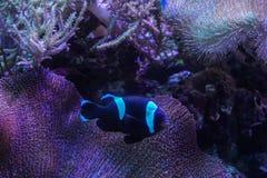 Svartvit clownfisk med korall för havsanemon på det mörka ljusa akvariet fotografering för bildbyråer