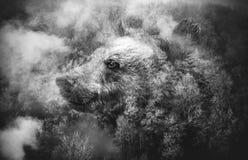 Svartvit collage: Björnhuvud och Misty Forest arkivfoton