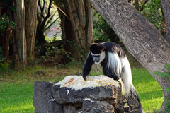 Svartvit colobus, sjö Naivasha, Kenya Royaltyfria Bilder