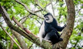 Svartvit Colobus som delar mat med en annan apa, Kenya Royaltyfri Bild