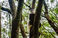 Svartvit Colobus som delar mat med en annan apa, Kenya Arkivfoton