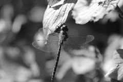 Svartvit drakefluga Royaltyfri Fotografi