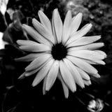 Svartvit enkel blomma royaltyfria bilder