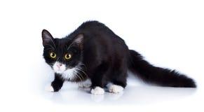 Svartvit förskräckt katt med gula ögon. Royaltyfria Foton