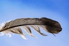 Svartvit fjäder av en duva på en bakgrund för blå himmel, makro Arkivfoto