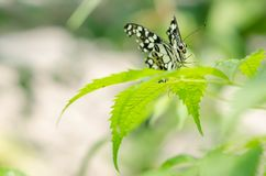 Svartvit fjäril för Closeup på suddig grön bladbakgrund royaltyfria bilder