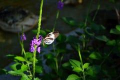 Svartvit fjäril som dricker nektar Fotografering för Bildbyråer