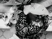 Svartvit fjärilskrypklick Fotografering för Bildbyråer