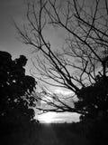 Svartvit härlig solnedgångsikt i risfältfält och filialträd royaltyfri bild