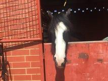 Svartvit häst Arkivfoto