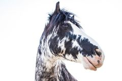 Svartvit häst för blåa ögon på en Sunny Summer Day royaltyfri bild
