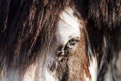 Svartvit häst för blåa ögon på en Sunny Summer Day arkivfoto