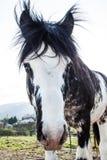 Svartvit häst för blåa ögon på en Sunny Summer Day royaltyfria foton