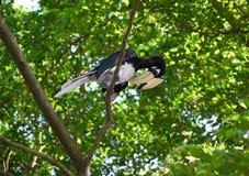 Svartvit hornbill på trädet Arkivbild