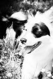 Svartvit hund 61 Fotografering för Bildbyråer