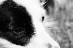 Svartvit hund 56 Royaltyfria Foton