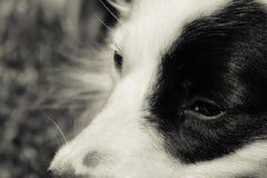 Svartvit hund 54 Royaltyfria Bilder