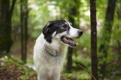 Svartvit hund i skogen Royaltyfria Bilder