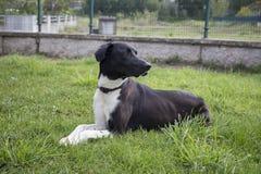 Svartvit hund, jakthund färger Royaltyfri Fotografi