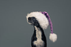 Svartvit hund som bär Santa Holiday Hat på neutral bakgrund Royaltyfria Bilder