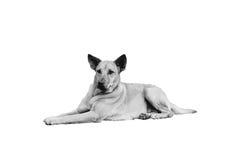 Svartvit hund som ligger på golvet med isolaten på vit bakgrund Arkivbilder